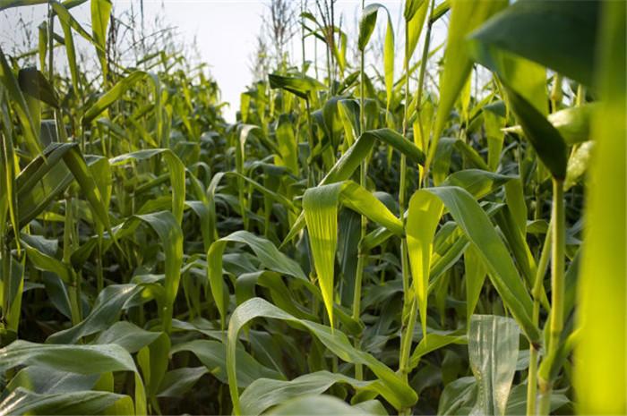 玉米要怎么种植才会长得好?种植的方法一定要把握好