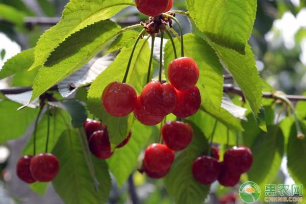 中华樱桃价格多少钱一斤?都有哪些食用功效?