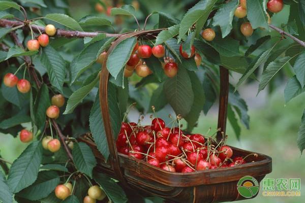 中华樱桃的食用功效
