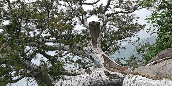 中华白皮松是那么美!灰褐色的枝干带给你家的归属感