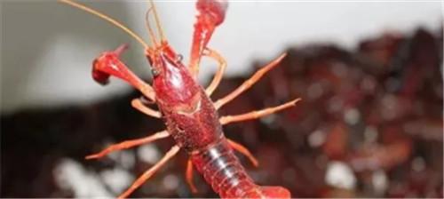 淡水小龙虾饲料你掌握是多少?河南对虾养殖招商大家了解多少了!