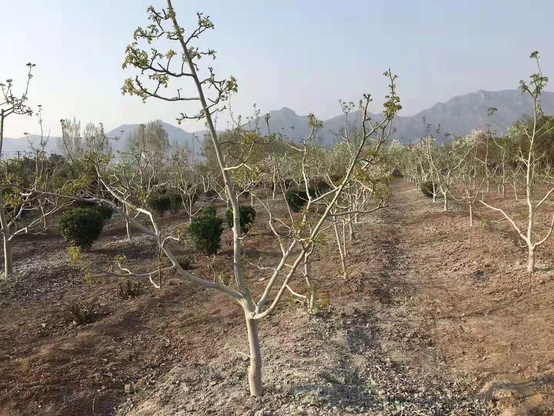 核桃苗不发芽的方法,核桃树3-4月刻芽