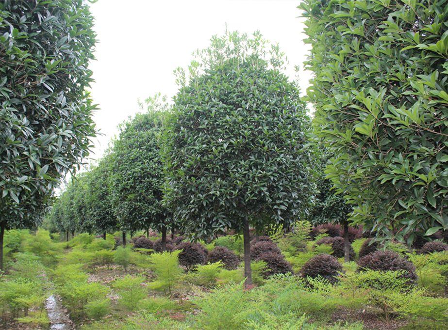 桂花树用于行道树进行栽培,原来是有原因的
