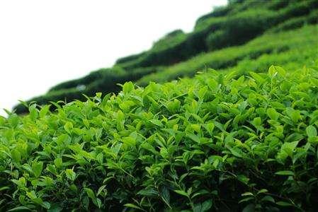 想知道种植茶叶高达百分之90的存活率的方法吗