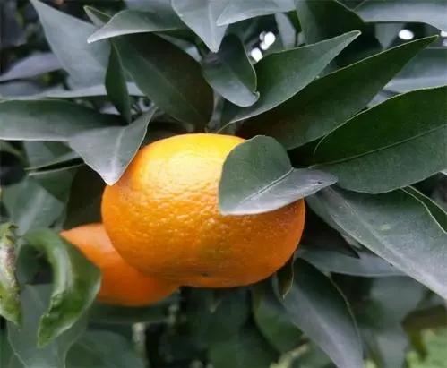 春见苗的种植管理,和春见柑橘苗的栽培经验
