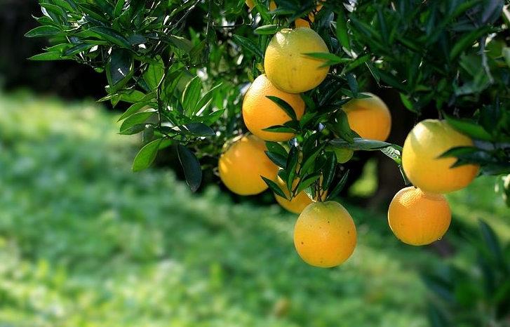 果農們要注意了,那般做,柑橘苗的栽植存活率更高