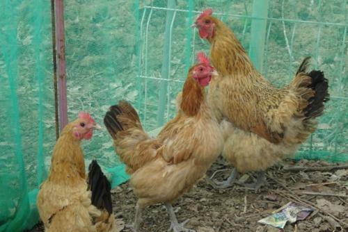 散养鸡生产商告知大伙儿鸡理当怎样散养,鸡舍温度很重要