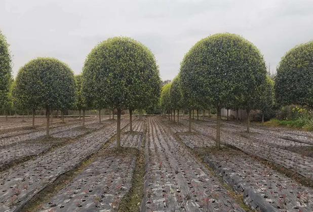 想要搞好绿化?那苗木种植的专业知识要把握清晰了